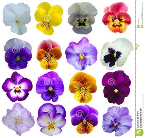 imagenes de flores llamadas pensamientos 16 flores de los pensamientos foto de archivo imagen