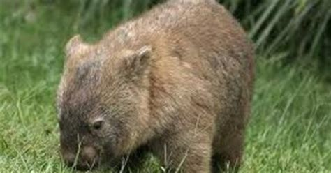 wombat wallpapers images fun animals wiki