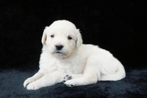 golden retriever nj buy golden retriever puppy nj dogs our friends photo