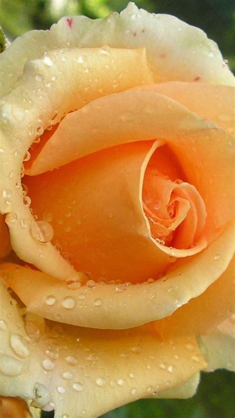 imagenes de rosas unicas 287 mejores im 225 genes sobre flores unicas en pinterest
