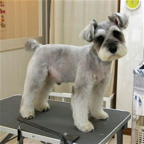 asian style schaunzer hair trim pretty i m getting zoey s hair cut like this next time