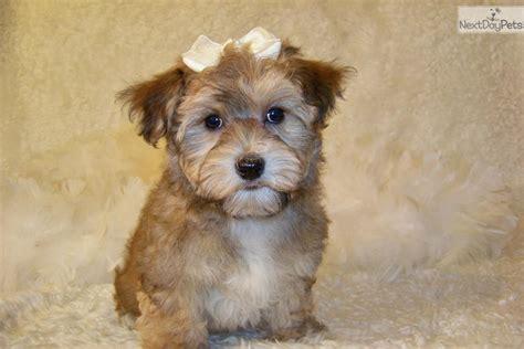 yorkie poo puppies missouri yorkiepoo yorkie poo puppy for sale near springfield missouri f84b899b 6ef1