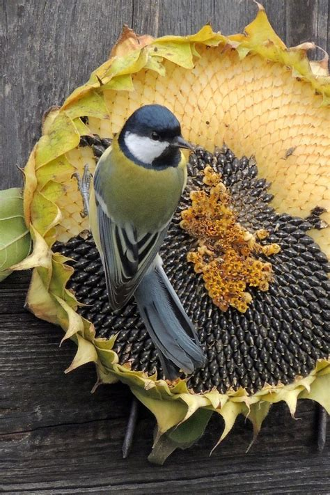 bird eating dried sunflower seeds pictures photos and
