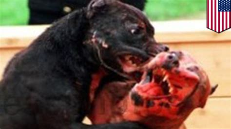 pitbull fight fight pit bull owner sues family for 1m dollars after dogs killed their
