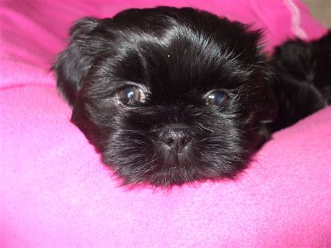 shih tzu x lhasa apso puppies shih tzu x lhasa apso puppies doncaster south pets4homes