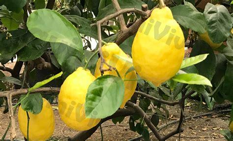 concimare limoni in vaso quando concimare il limone in vaso cool with quando