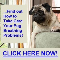 pug respiratory problems 5 causes for pug breathing problems pug problems
