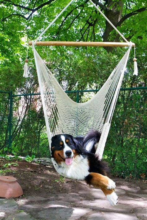 average age of dogs bernese mountain breed fallinpets