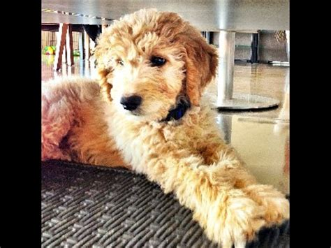 goldendoodle puppy help puppy goldendoodle puppy info photo 10