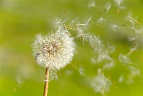 Kitchen Ideas Diy how to remove or kill dandelions