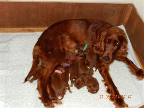 setter dogs for sale uk irish red setter puppies ready to leave now stoke on