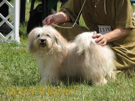 are havanese with children havanese breed information puppies pictures
