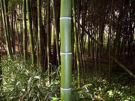 growing bamboo how to grow bamboo plants