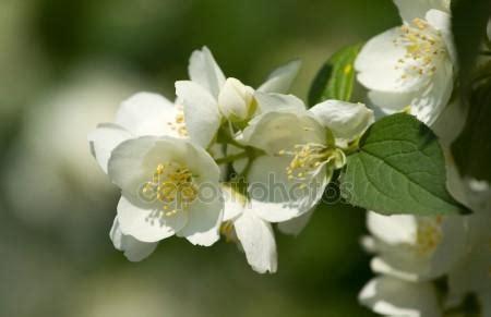arbusto con fiori bianchi profumati gelsomino arbusto con fiori bianchi profumati foto