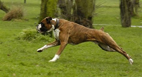 boxer facts boxer puppies rescue pictures information temperament characteristics animals
