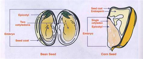 diagram of monocot seed difference between monocot seed and dicot seed monocot