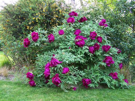 Petit Arbuste Fleuri by Les Petits Arbustes Fleurs Et Jardins De Rhuys