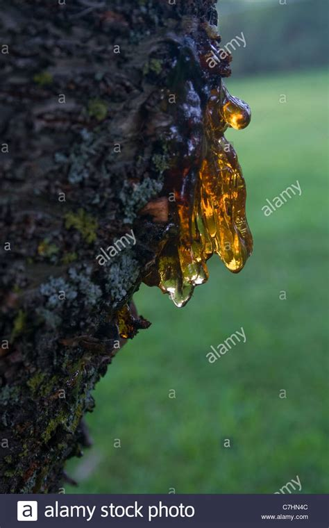 cherry tree oozing sap sap oozing from cherry tree stock photo royalty free image 39113100 alamy