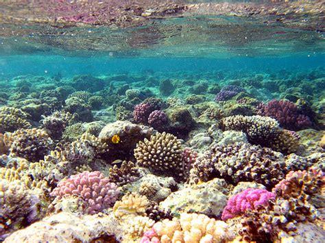 Batu Gambar Koral Otak Brain Coral kegunaan terumbu karang bagi biota laut lainnya sumpah