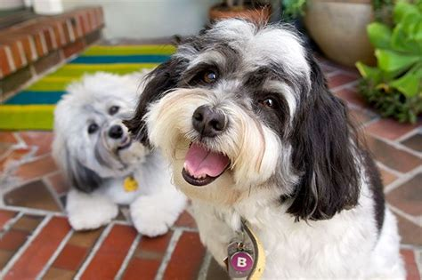 traits of havanese dogs 255 best images about havanese dogs balls of fluffy on havanese