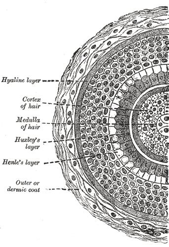 hair cross section why humidity makes your hair curl science smithsonian