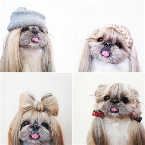 shih tzu styles 89 best shih tzu hair styles images on shih tzus fluffy pets and haircuts