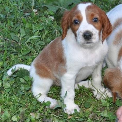 irish red and white setter dogs for sale healthy irish red white setter puppies for sale adoption