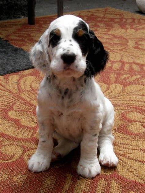 setter pointer dog best 25 english setter puppies ideas on pinterest