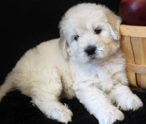 english goldendoodle 11 of the cutest mixed breed puppies