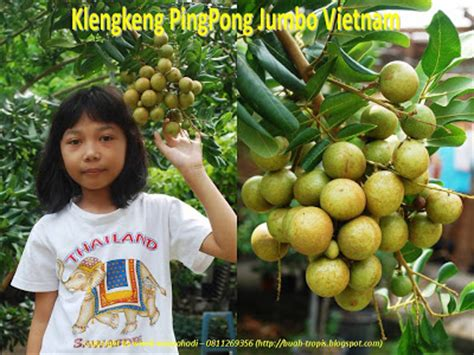 Bibit Lengkeng Pingpong buah tropis lengkeng pingpong jumbo 3