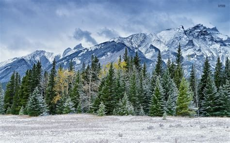 rocky mountain pine tree snowy pine forest by the rocky mountains walldevil