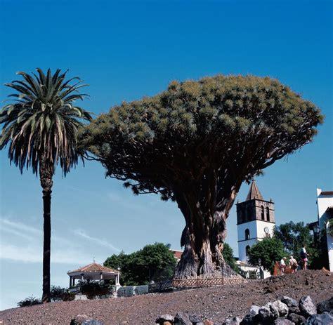 palme österreich drachenbaum teneriffa best frau auf wanderweg kanarischer