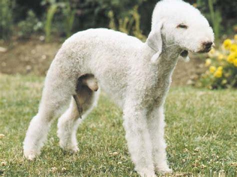 bedlington terrier puppies bedlingtonterrier bliblinews