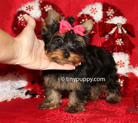 teacup yorkie black jingle terrier puppy tinypuppy