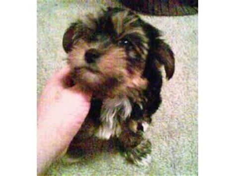 yorkie puppies for sale in portland oregon terrier puppies in oregon