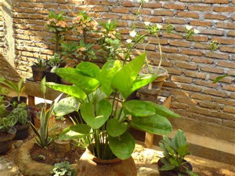 Tanaman Melati Air Mexican Sword Plant infonya sunflo mengenal melati air