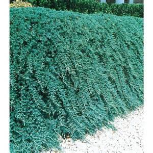 Blue Rug Plant Shop 1 5 Gallon S Insignificant Blue Rug Juniper L3121