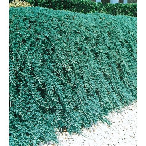juniper blue rug shop 1 5 gallon s insignificant blue rug juniper l3121 at lowes