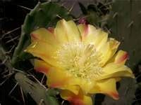 21379 Yellow Flower Sml factsheet opuntia monacantha drooping prickly pear