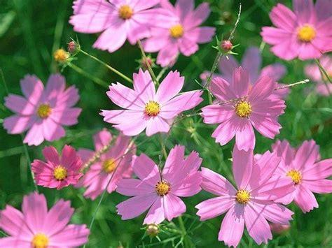 cosmos fiore cosmea cosmos cosmos piante annuali cosmea