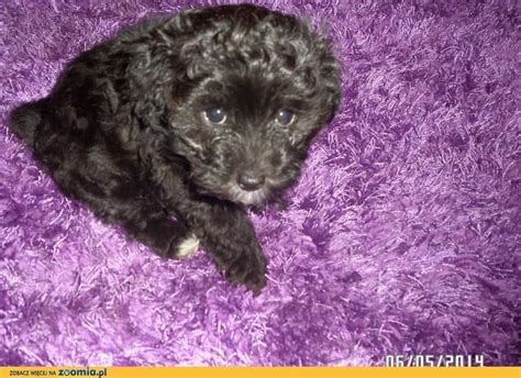 chion havanese pies hawańczyk ogłoszenia z hodowli psy hawańczyki zoomia pl pl 1