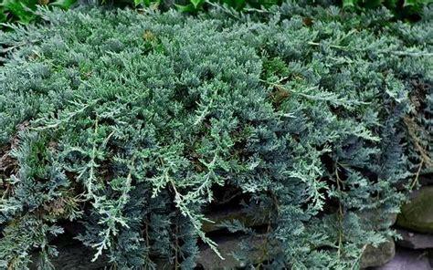 blue rug juniper for sale buy blue rug juniper for sale from wilson bros gardens