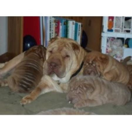 shar pei puppies for sale florida shar pei breeders in florida freedoglistings