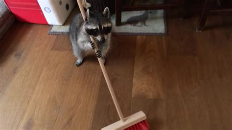 melanie raccoon sweeping the floor gif create discover