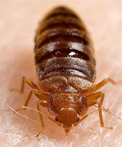 bed bugs en español punaise des lits cimex lectularius en images dinosoria