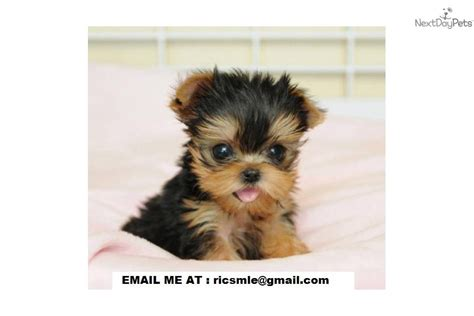 free yorkie puppies near me tcup yorkie puppies terrier yorkie puppy for adoption near
