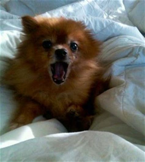 how to tell if your is a pomeranian how to stop your pomeranian barking incessantly