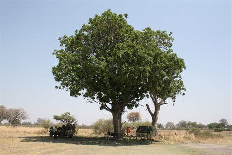 file sausage tree in botswana jpg - Tree In