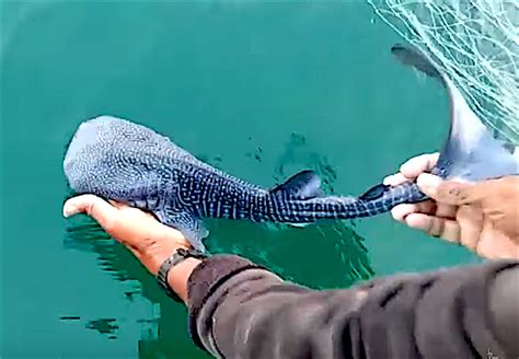 baby shark whale stunning baby whale shark rescued and released in india