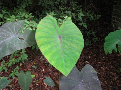 taro leaves plant care taro black magic colocasia esculenta black